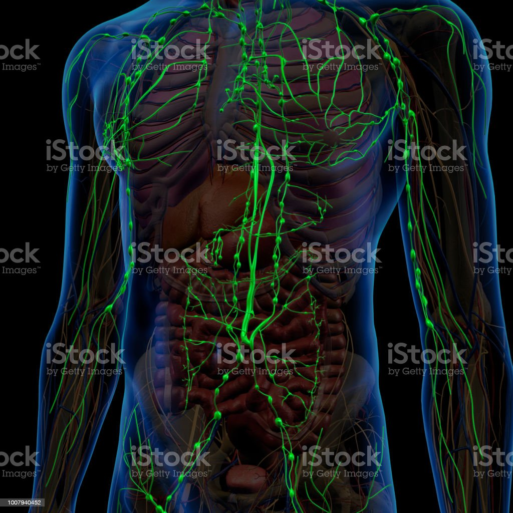 Lymphatic System Internal Anatomy In Male Chest And Abdomen Stock ...