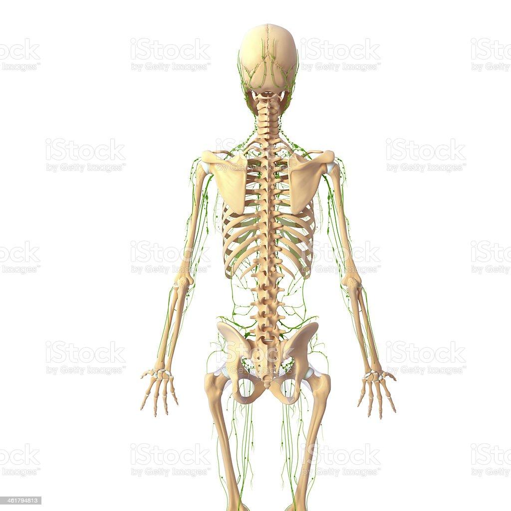 Fotografía de Sistema Linfático De Vista Posterior Con El Esqueleto ...