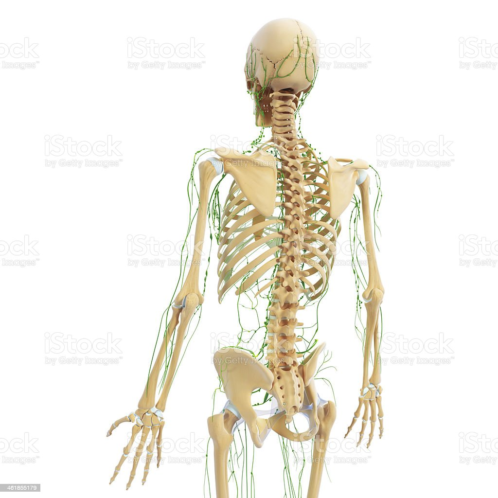 Lymphatic System Of Female Back View With Skeleton Stock Photo ...