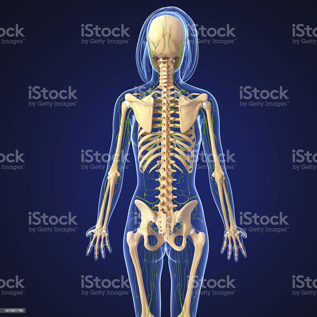 Lymphatic System Of Female Body Anatomy Back View Stock Photo & More ...