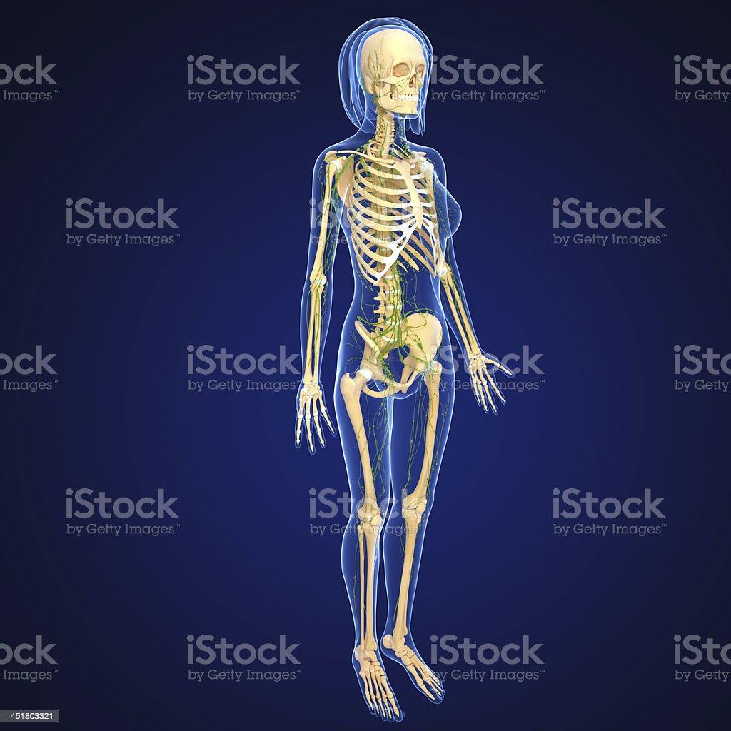 Lymphatische System Der Weibliche Körper Anatomie Stockfoto ...