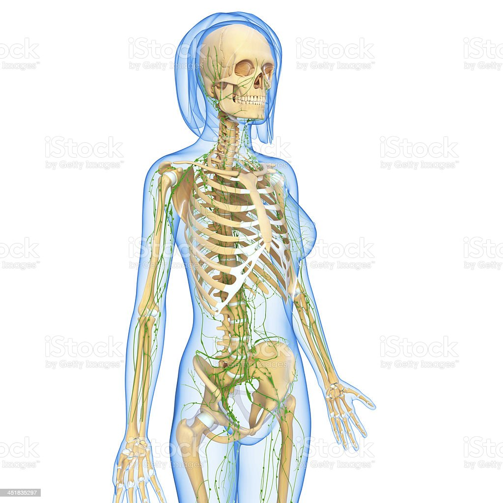 Lymphatic System Of Female Body Anatomy Stock Photo More Pictures