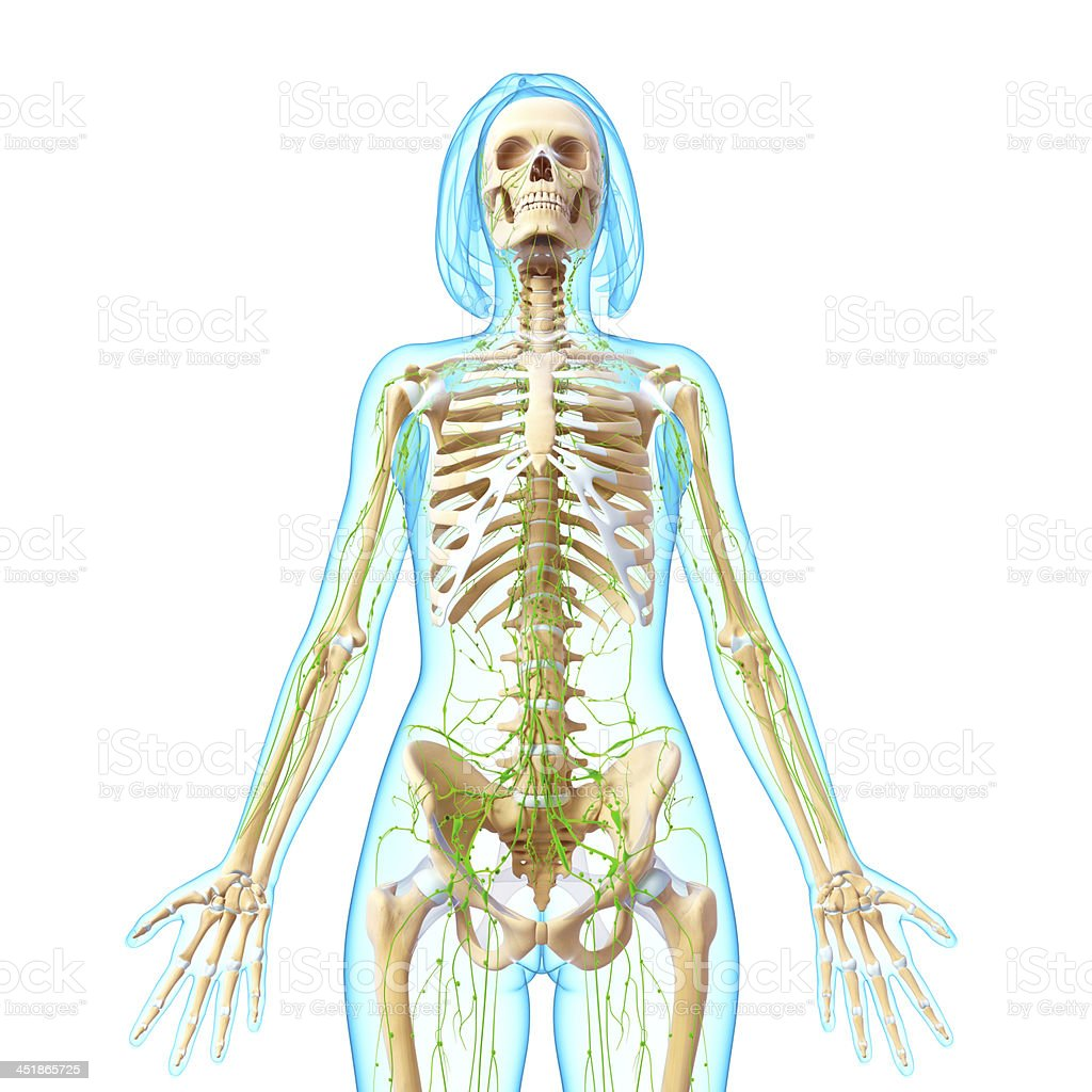 Lymphatische System Der Weibliche Körper Anatomie Stock-Fotografie ...