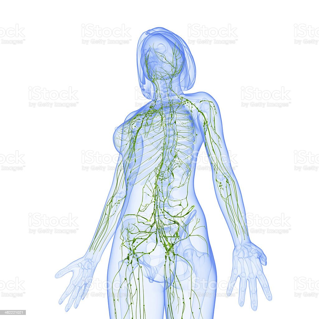 lymphatic system of female front stock photo