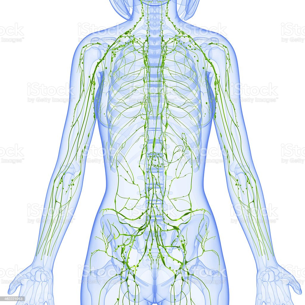 lymphatic system of female front with skeleton stock photo