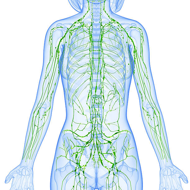 Royalty Free Lymphatic System Pictures Images And Stock Photos Istock