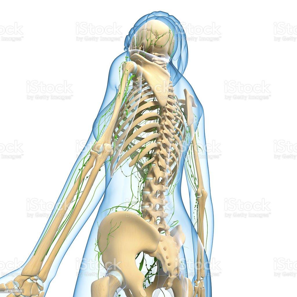 Lymphsystem Des Weiblichen Seitenansicht Mit Skelett - Stockfoto ...