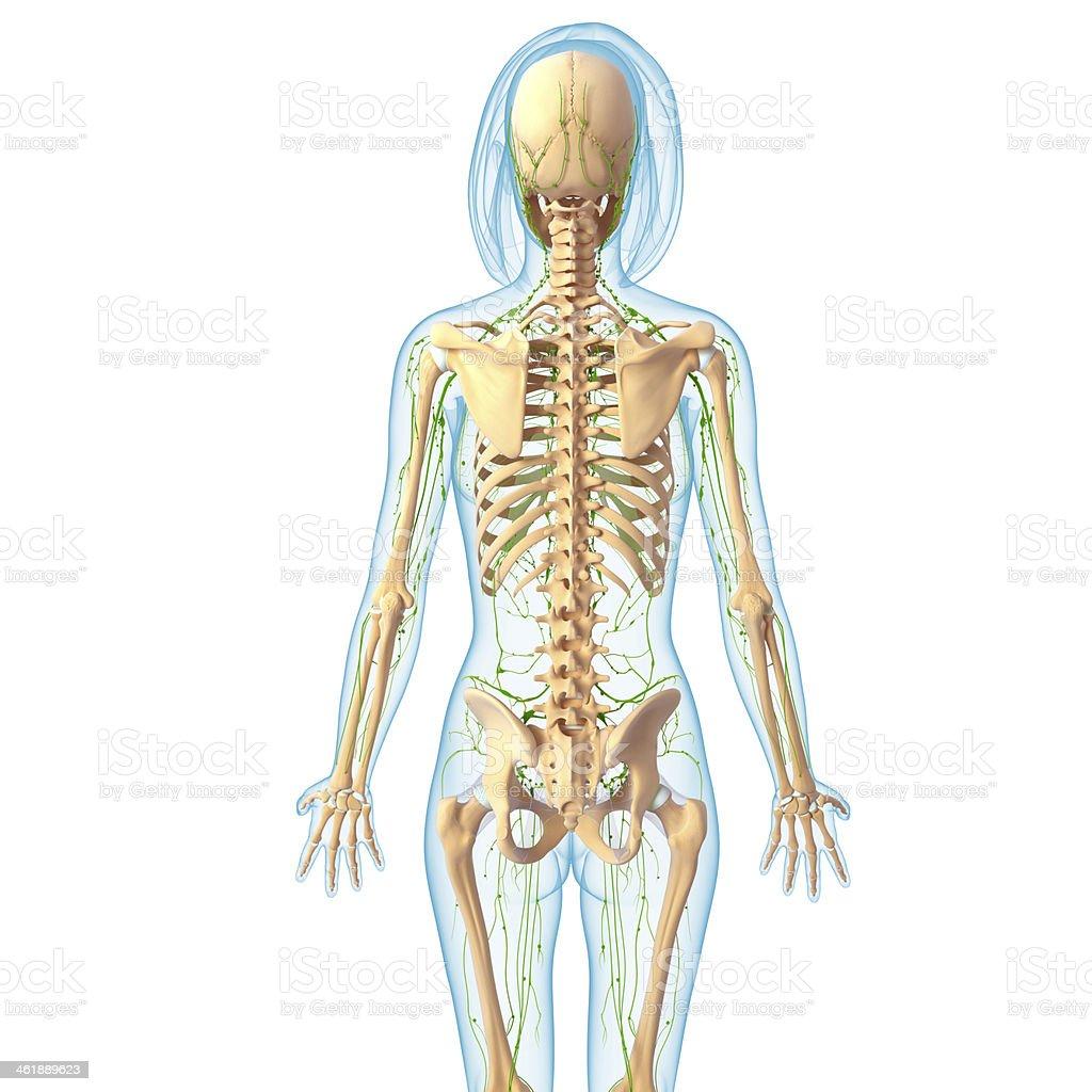 Lymphsystem Des Weiblichen Seitenansicht Mit Skelett Stock ...