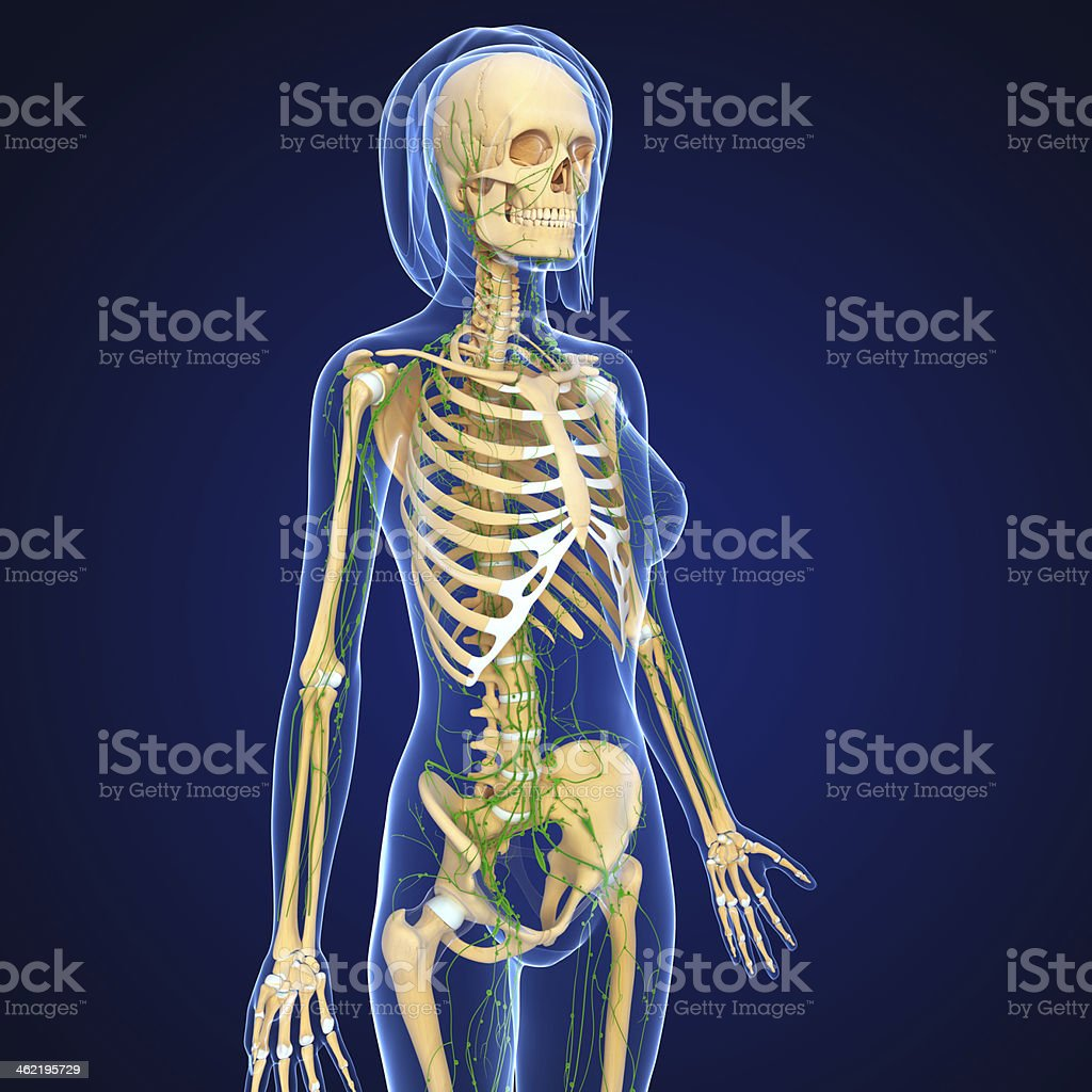 Lymphatic System Of Female With Skeleton Stock Photo More Pictures