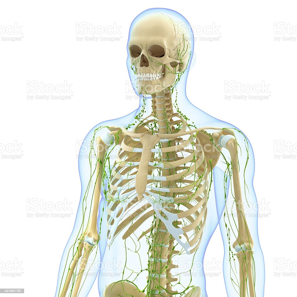Lymphatic System Of Male Body Anatomy Stock Photo More Pictures Of