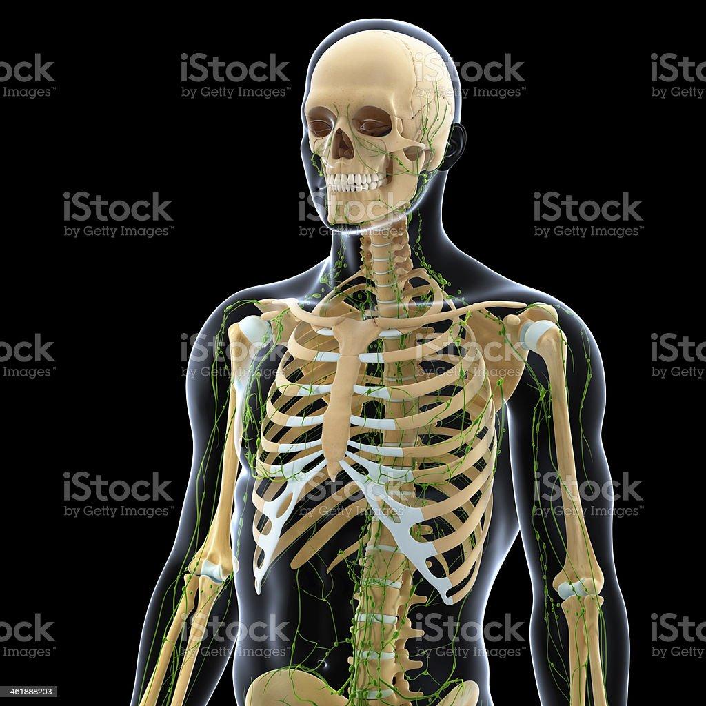 Lymphatische System Männlichseitenansicht Mit Skelett Stock ...