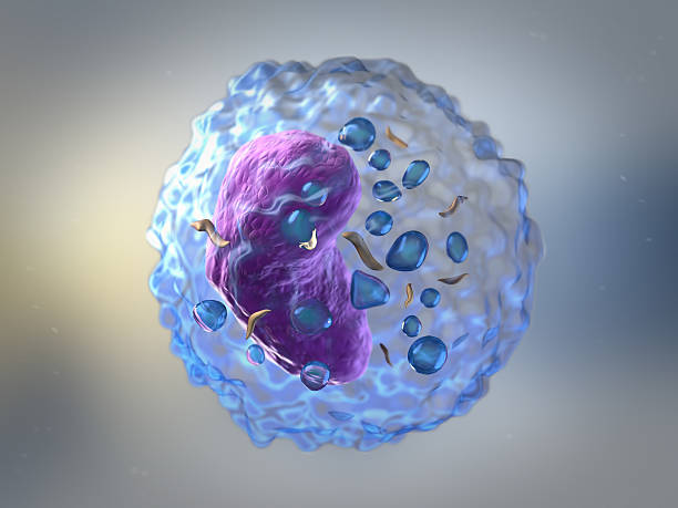 Lymphocytes Lymphocytes are white blood cells or leucocytes in the human immune system consisting of B and T cells which form antibodies for immunity and natural killer cells which fight viruses and tumours receptor stock pictures, royalty-free photos & images