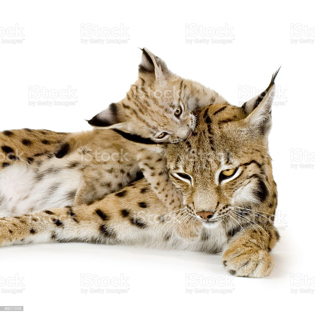 Lynx and her cub (2 mounths) royalty-free stock photo