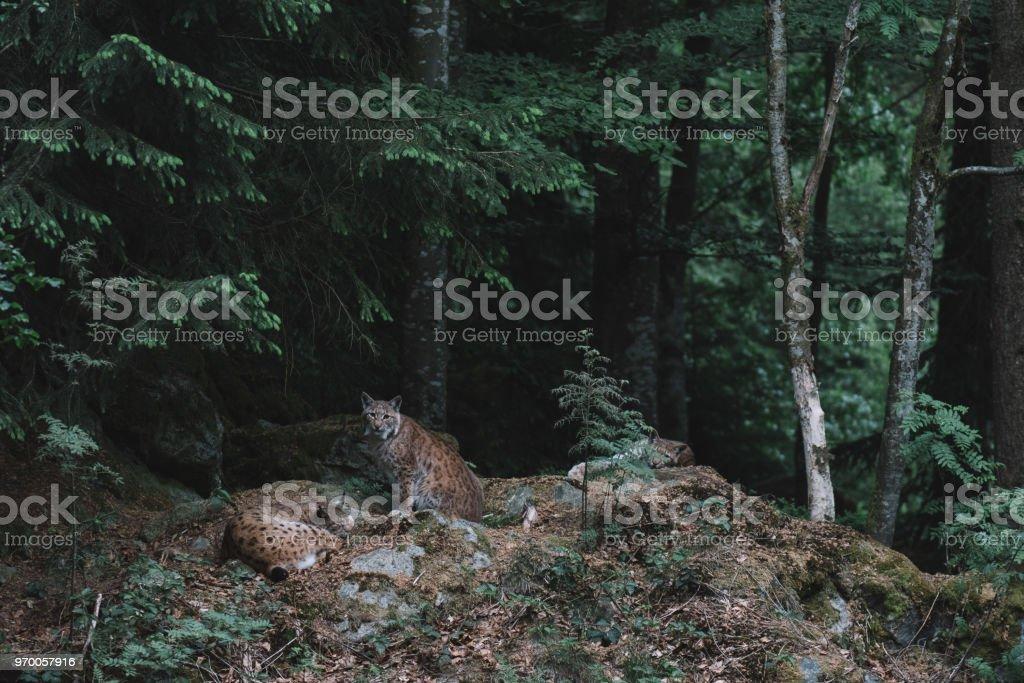 Luchs im Nationalpark Bayerischer Wald, Deutschland – Foto
