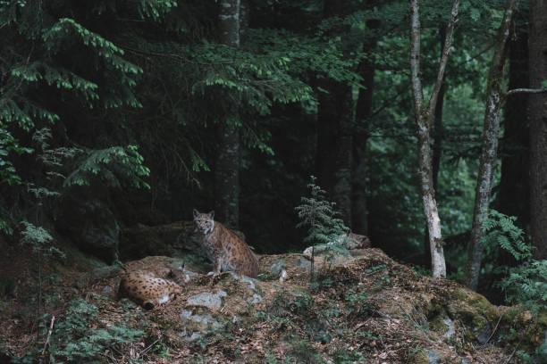 lynx på bayerischer wald nationalpark, tyskland - bayerischer wald bildbanksfoton och bilder