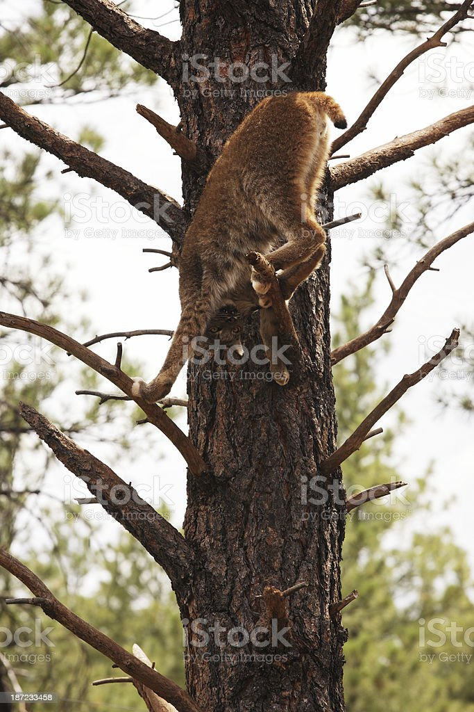 Lynx canadensis Predator Cat Climbing Tree royalty-free stock photo