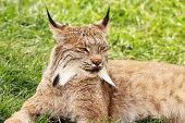 Lynx canadensis - regal wild cat casually relaxing.