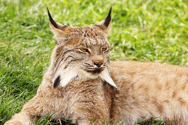Lynx canadensis Predator Cat Wildlife stock photo