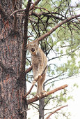 A lynx standing in a tree. The lynx has a short tail and characteristic tufts of black hair on the tips of its ears; large, padded paws for walking on snow; and long whiskers on its face. Under its neck, It has a ruff which has black bars, is not very visible, and resembles a bow tie.
