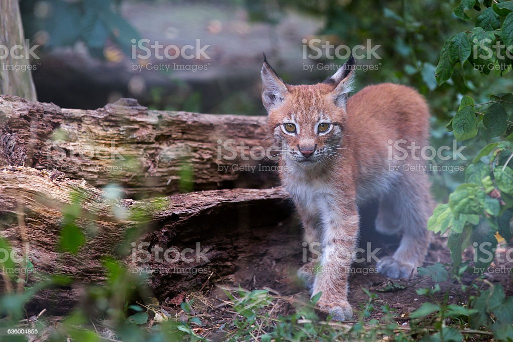 lynx cub stock photo