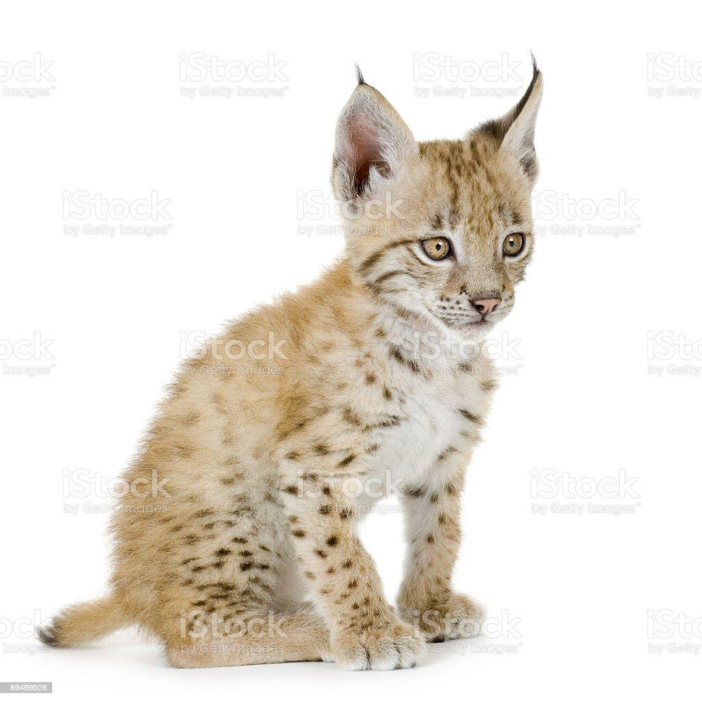 Рысь гепарда (2 mounths Стоковые фото Стоковая фотография