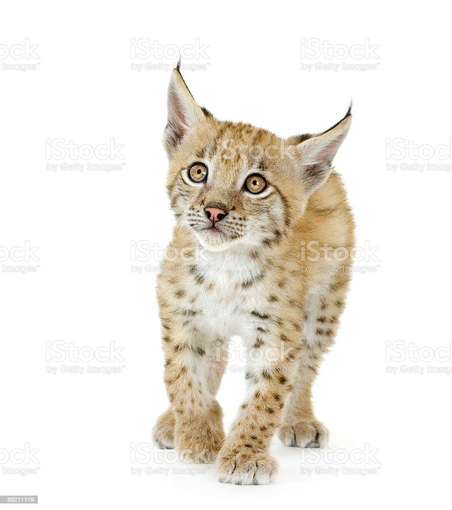 Lynx cub (2 mounths) royalty-free stock photo