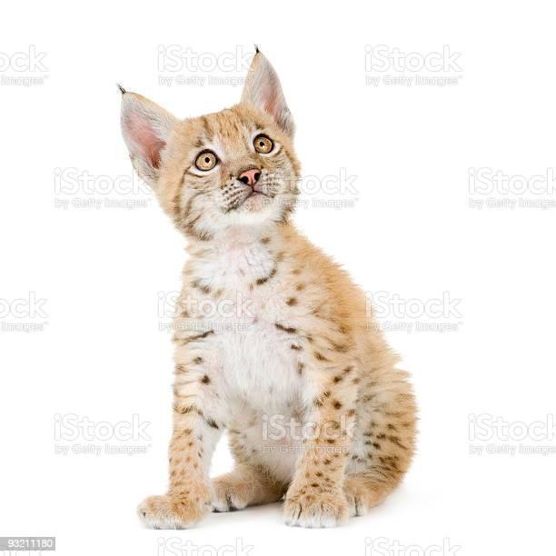 Lynx cub picture id93211180?b=1&k=6&m=93211180&s=612x612&h=01cr9ixbwfbdwir1hrkf6eh940fkofputwmwozkroik=