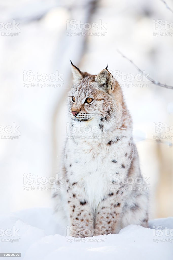 Lynx cub sits in the cold snow stock photo
