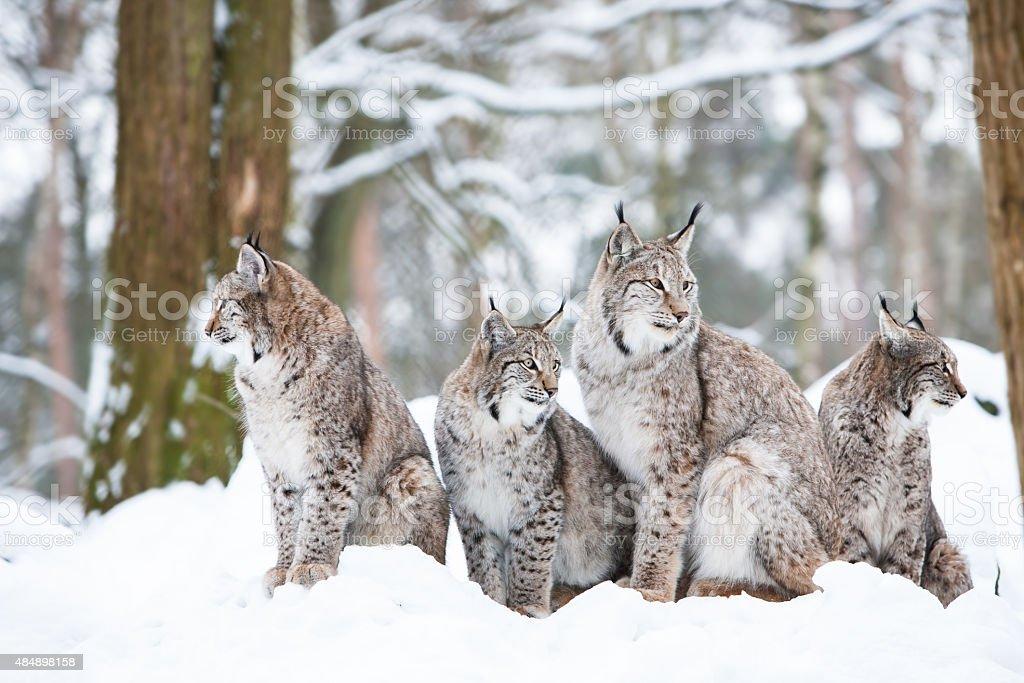 lynx family stock photo