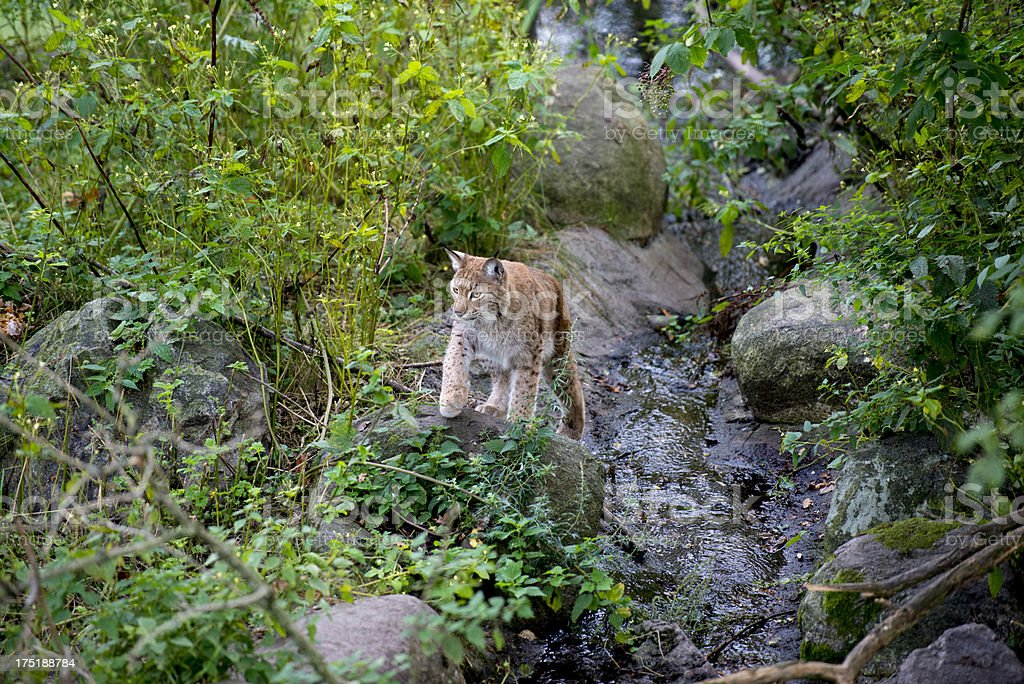Lynx hunting royalty-free stock photo