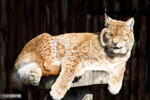 Lynx in a zoo