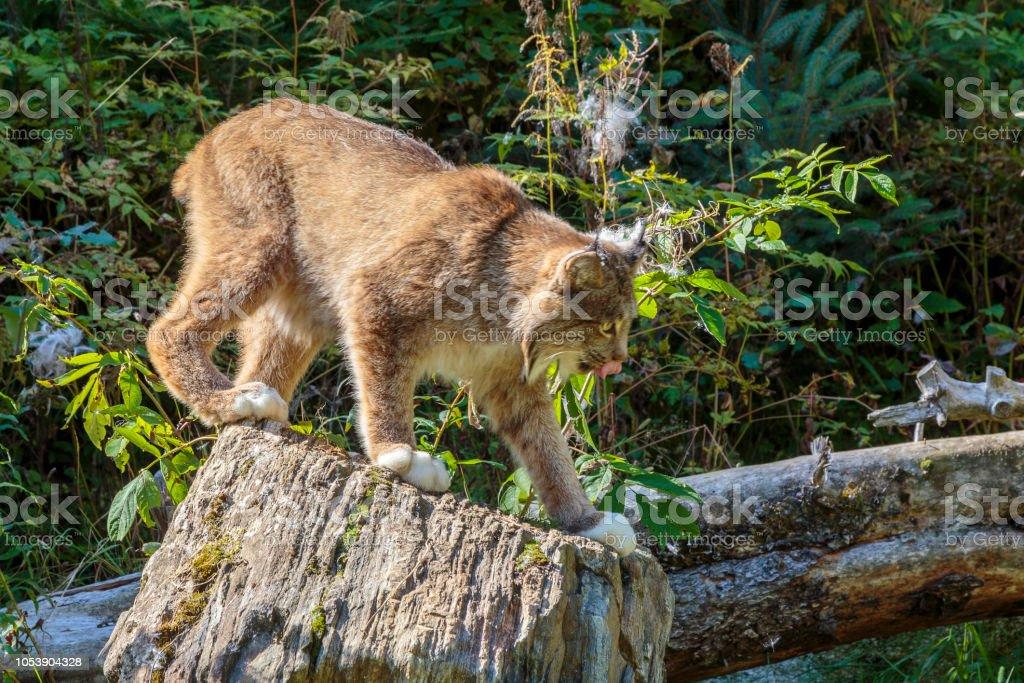 Lince en bosque de Alaska - foto de stock