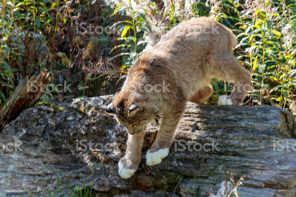 Lynx in Alaska forest