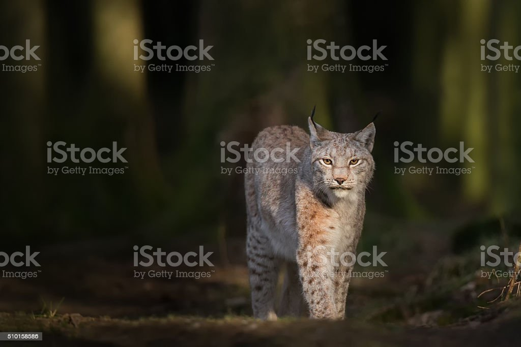 Lynx in deep green Forest stock photo
