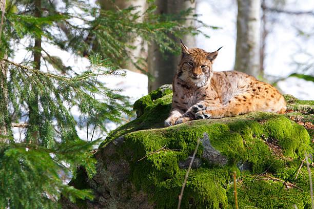 lynx in the bayerischer wald national park - bayerischer wald bildbanksfoton och bilder