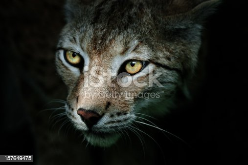 Beautiful male lynx in the dark. Canon 1D Mark III and 4. 500mm L IS. RAW-file developed with Adobe Lightroom.