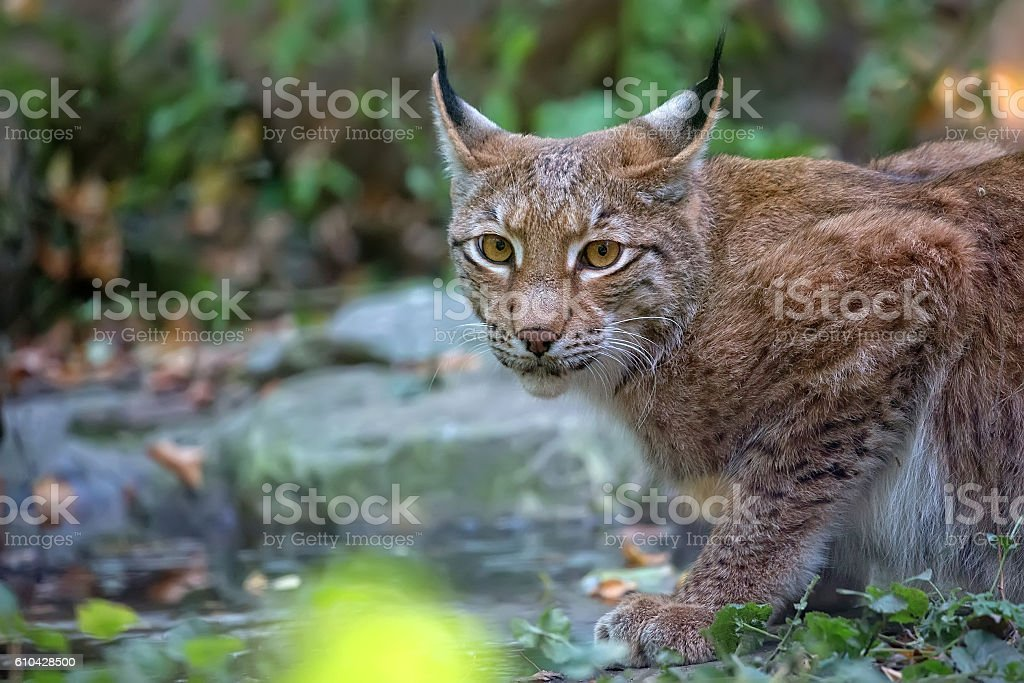 Lynx in the forest, a portrait stock photo