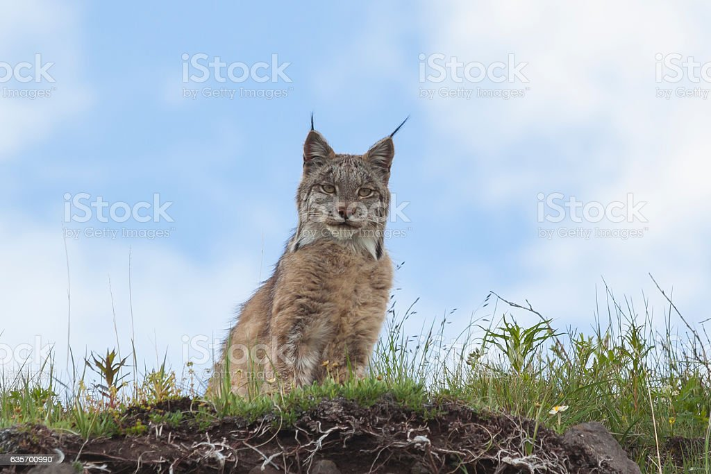 Lynx in the hills near Grassy Pass in Denali. royalty-free stock photo