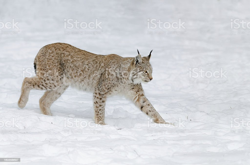 Lynx in the Snow royalty-free stock photo