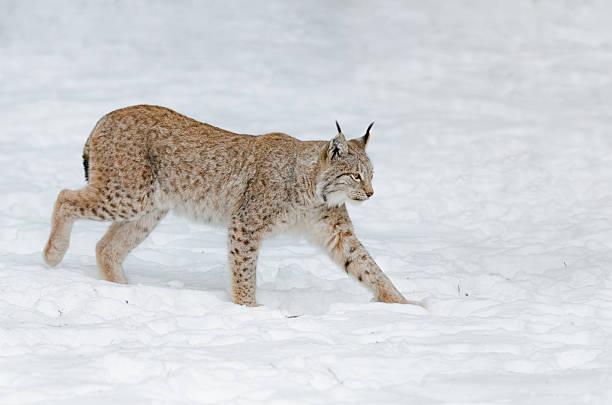 Lynx im Schnee – Foto