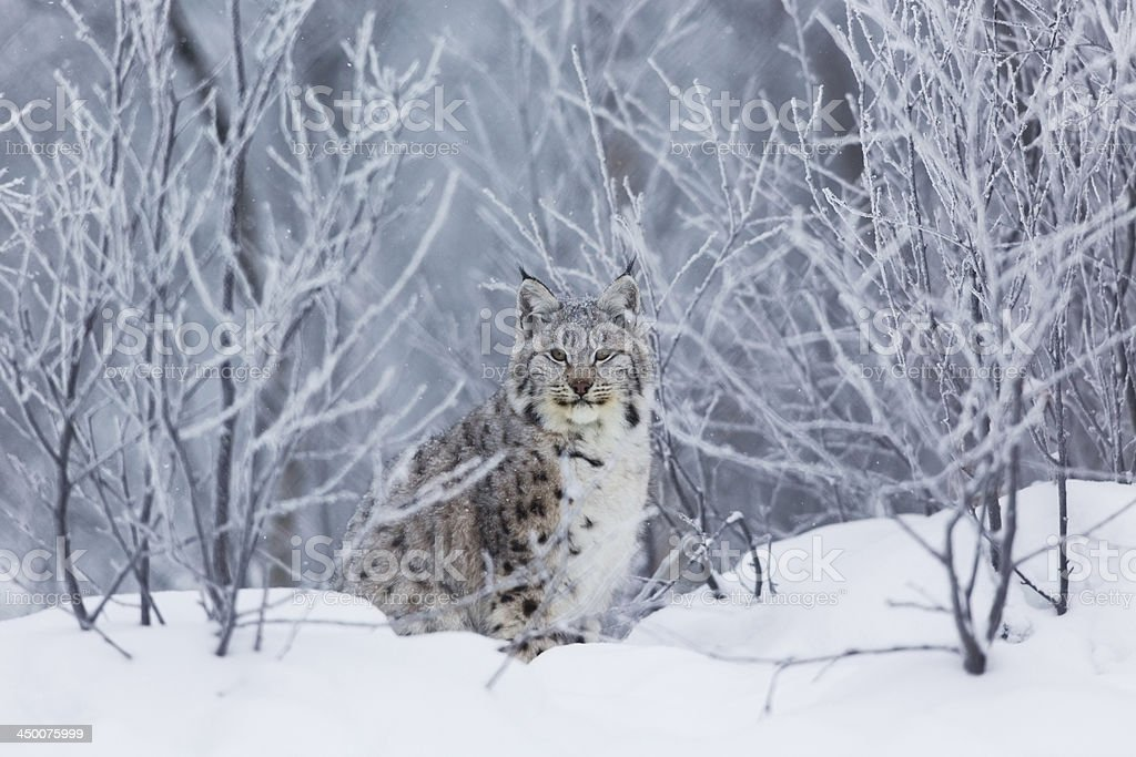Lynx in the snow stock photo