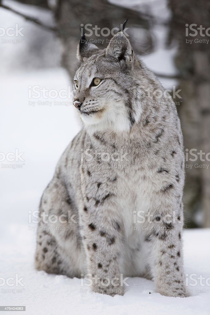 Lynx in the winter stock photo