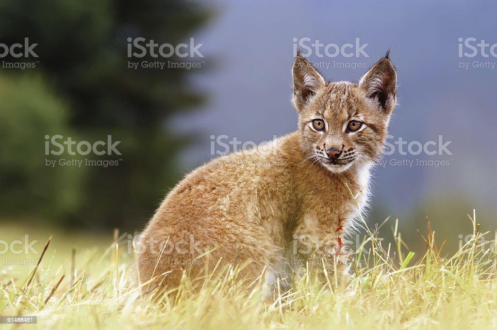 Lynx kitty stock photo