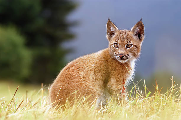 Lynx kitty stock photo