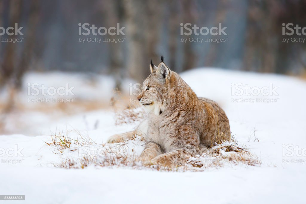 Lynx lies and rests in the snow stock photo