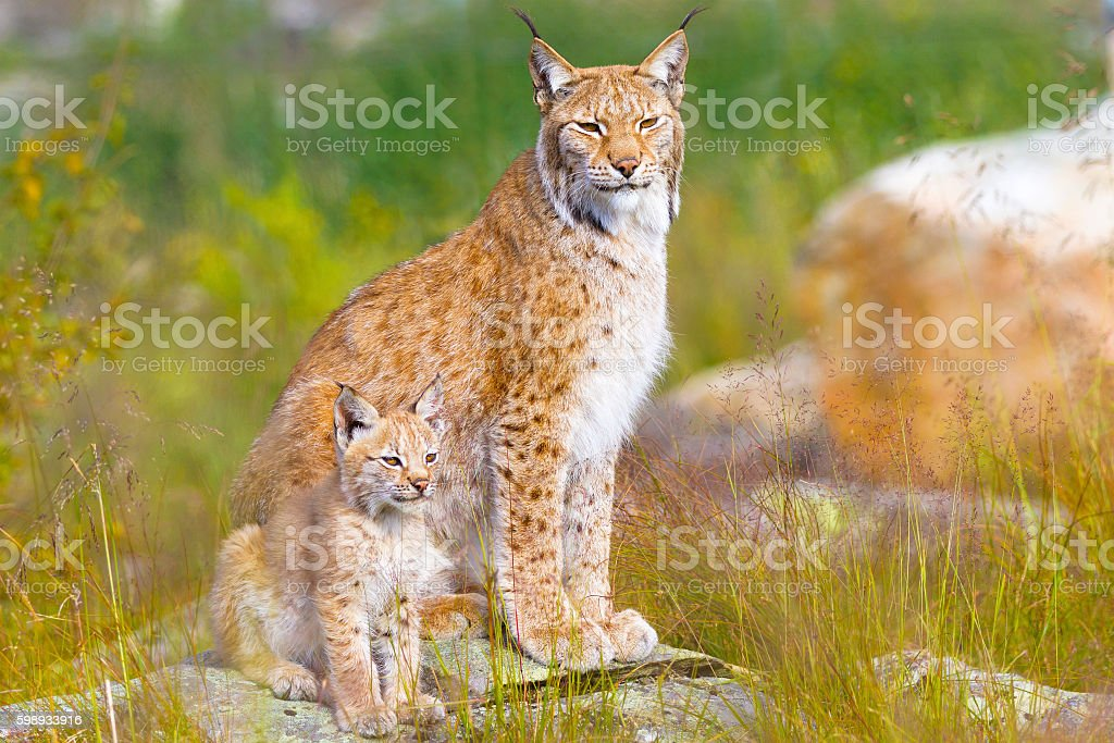 Lynx mother and her cub sits in the forest stock photo