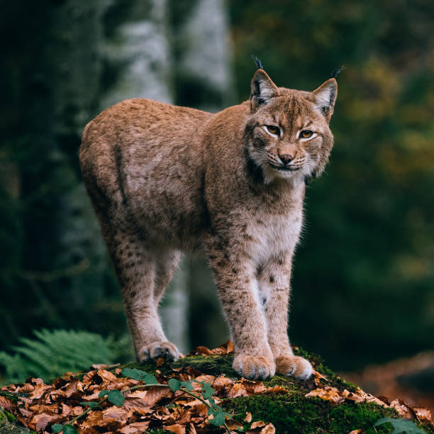 lynx on a rock, standing in forest stock photo