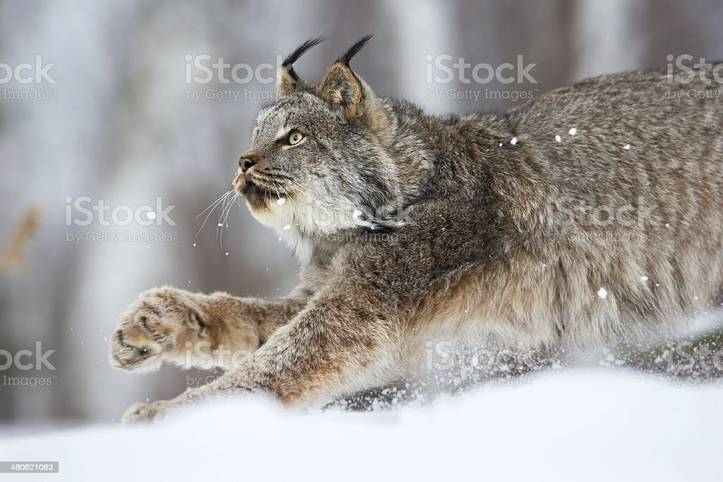 Lynx on the prowl. stock photo