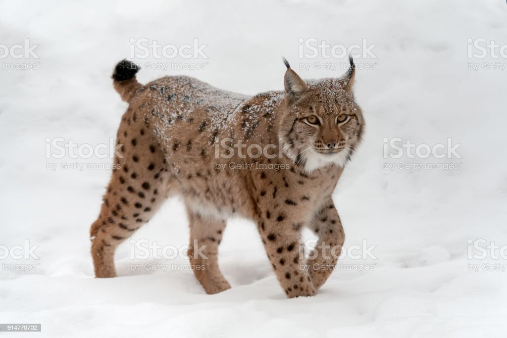 Lynx on the snow stock photo