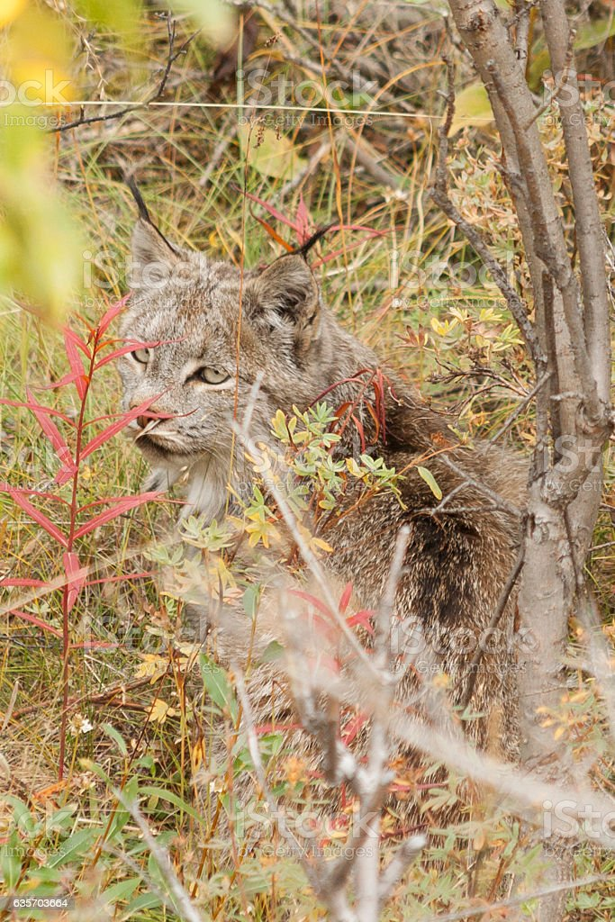 Lynx peering out through the willows in Denali National Park. royalty-free stock photo